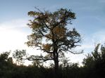 Larzac Tree by FiLH