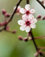 :: Pink blossoms :: by AmyranthPhotography