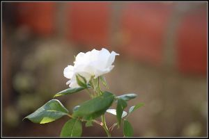 white roses . by fisher57