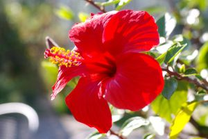 Hibiscus I by expression-stock