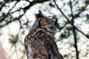 Great Horned Owl by Lone---Wolf