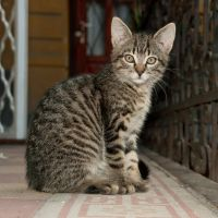 Tabby kitty by szorny-stock