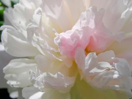 Peonies Stock 1 by Retoucher07030