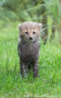 Little Cheetah Cub 171 13a by Haywood-Photography