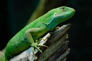 Green Lizard by roarbinson