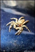 Jumping Spider by Falcross