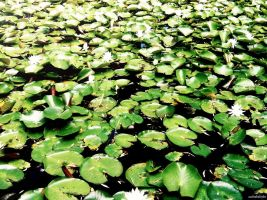 The Lily Pads. by australialinlin