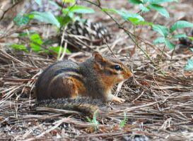 Chippy Resting by Tailgun2009