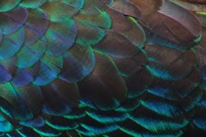 Scalloped Feathers by Renard47