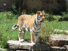 Amur Tiger Stock 5 by HOTNStock