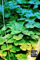 Hairy Clovers by eyefish