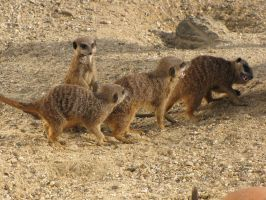 Stock - Meercats 1 by ladykraut
