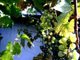 grapes by neest