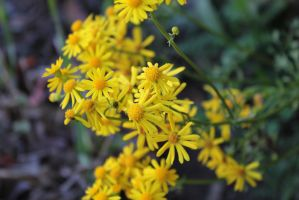 Yellow Weed Flower by RavingPink