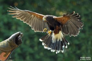 Harris Hawk V by Daniel-Volpert