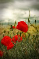 poppies by mefotografie