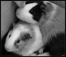 TwoGuinaepigs in B and W 2 by SkoRuPa-9