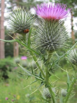 thistle and ladybird by ownedsince82