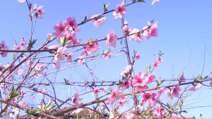 Peach Blossoms 2 by Annissina