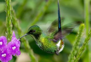 Fairy Wings - green thorntail hummingbird by Jamie-MacArthur