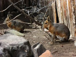 Cavy 2 -- Aug 2009 by pricecw-stock