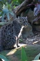 Fishing Cat by tattoosydney