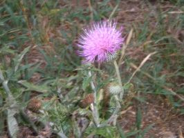Thistle by WeepingPiano