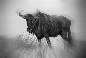 Wildebeest by carlosthe