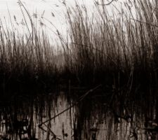 reeds.. by awjay