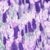lavender by Fwirll