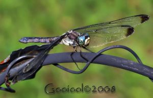 dragonfly 9 by Gooiool