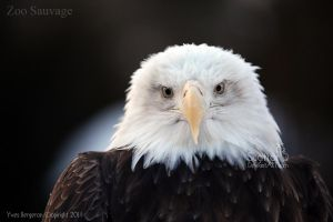 Bald Eagle by Sagittor