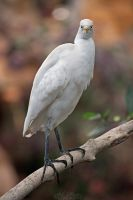 Western cattle egret by Seb-Photos