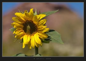 Sun Flower by HogRider