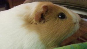 Percy, My Guinea Pig by Silverfang98