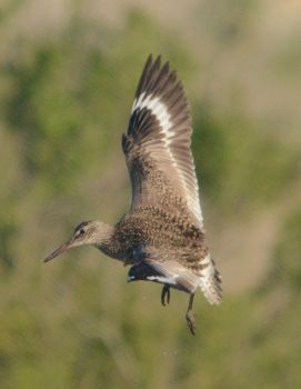 Willet in Flight by TimotheusP