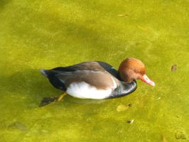 Red-crested Pochard by uK-chan