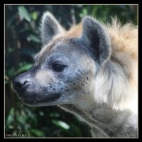 Hyena 2 by Globaludodesign
