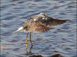 Flight of the Yellowlegs by verybluebird