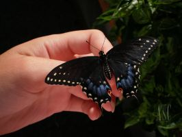 My Butterfly by Pentacle5