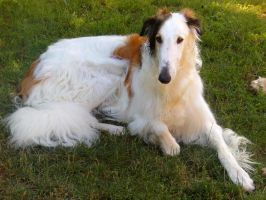 Ginsburg, my young borzoi by Cha-Barzoi
