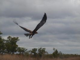 Wedge tailed eagle by Juliemarie91