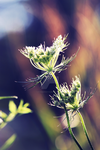 Beautiful Weeds by StormiePhotos