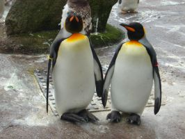 penguin couple by Engimax