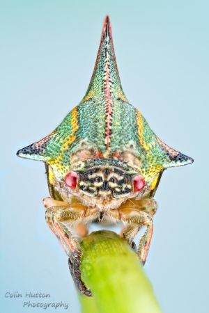 Thorn treehopper - Umbonia spinosa by ColinHuttonPhoto