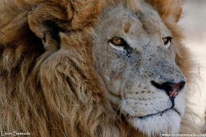 African Lion by LironSamuels