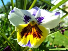 Pansy Face by Druid55