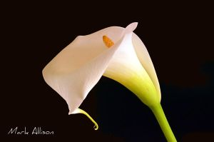 White Calla Lily by Mark-Allison