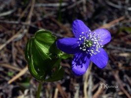 Western Wood Anemone by TRunna