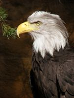 Bald Eagle by Bimmi1111